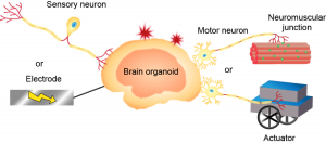 Integrative sensory & locomotive brain-bot