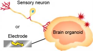 Sensory brain bot